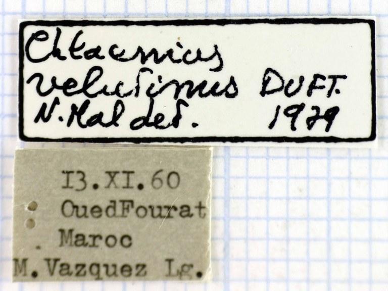 Chlaenius velutinus auricollis 41410.jpg