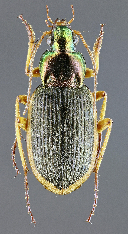 Chlaenius velutinus auricollis m 41411zs28.jpg