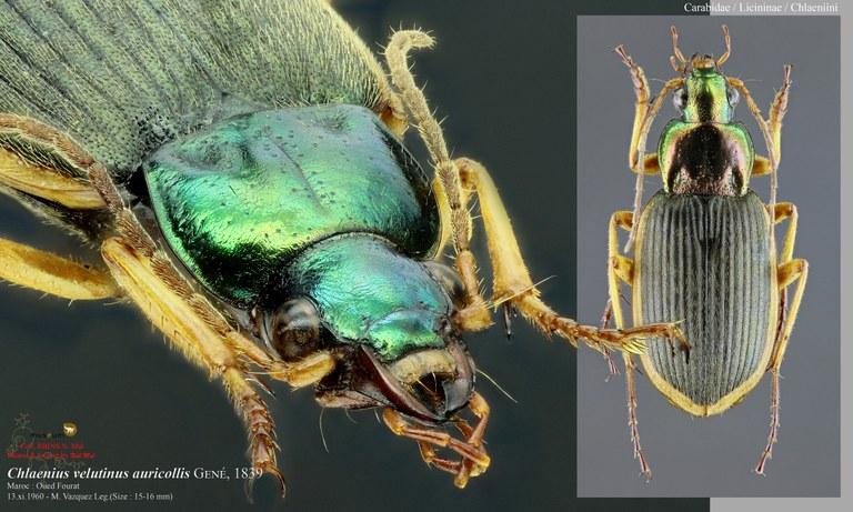 Chlaenius velutinus auricollis.jpg