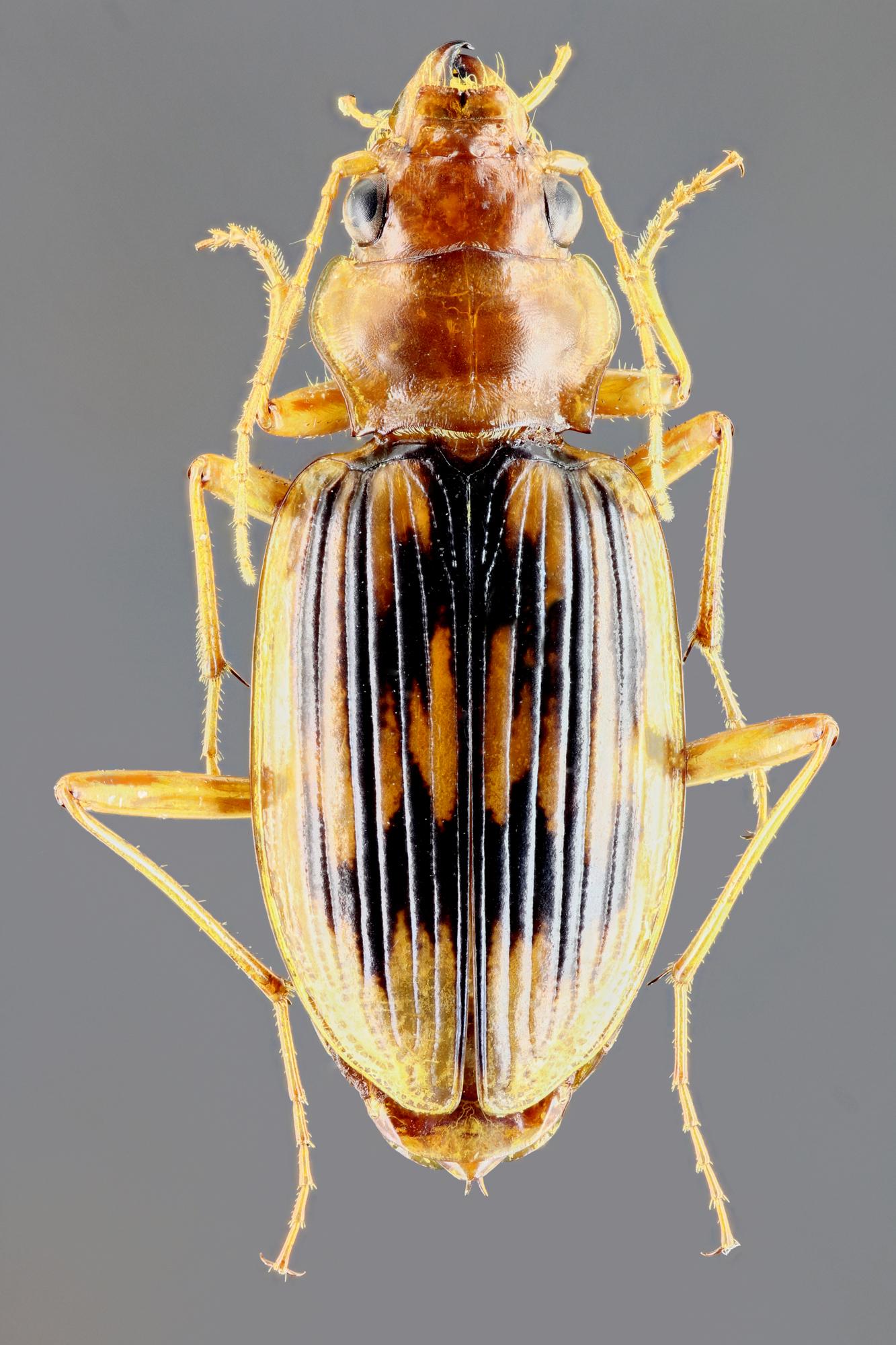 Eurynebria complanata 40703zs15.jpg