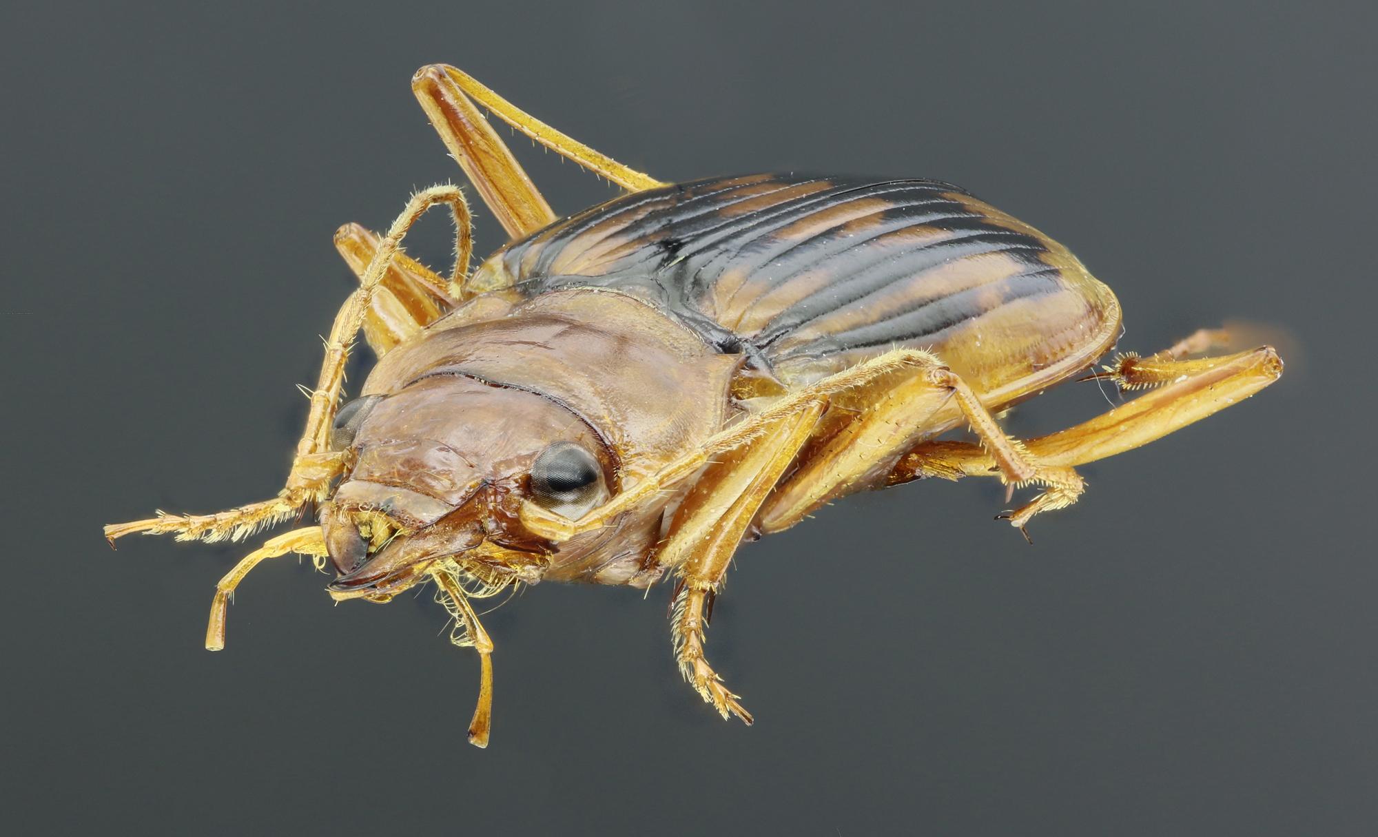 Eurynebria complanata 40717zs53.jpg