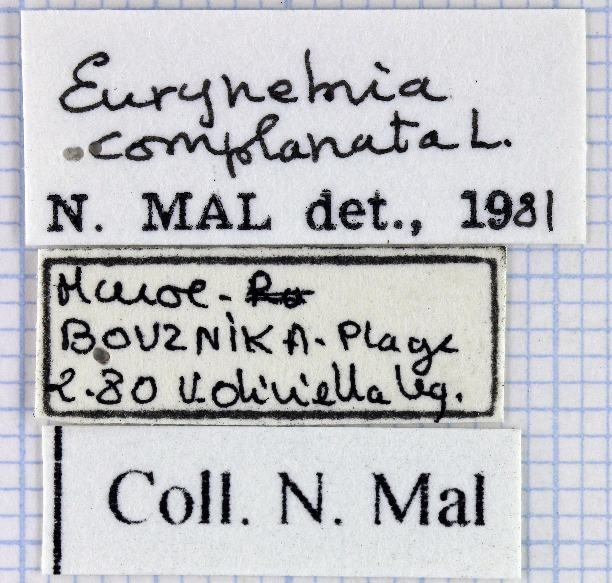 Eurynebria complanata 40701.jpg