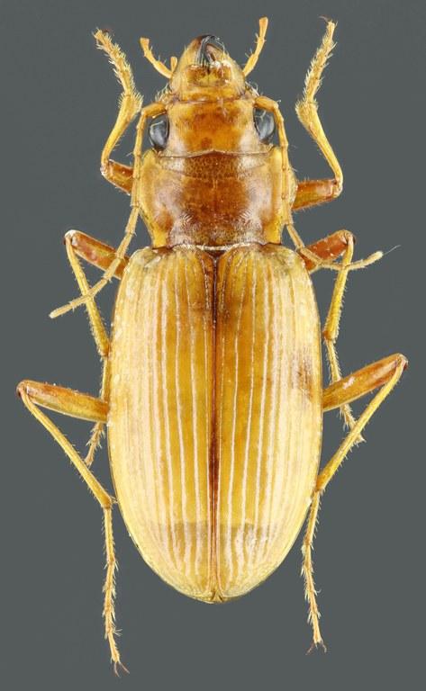Eurynebria complanata 40768zs86.jpg