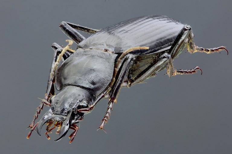 Sphodrus leucophthalmus 45725zés69.jpg