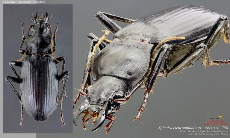 Sphodrus leucophthalmus.jpg