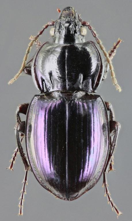 Myas (Myas) chalybeus 45663zs85.jpg