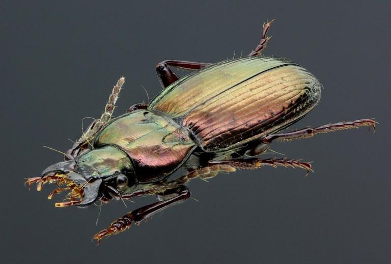 Oreophilus externepunctatus 45283zs27.jpg