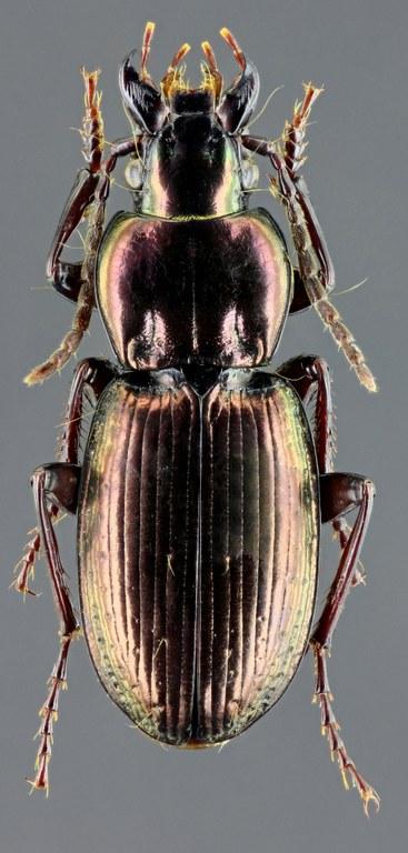 Oreophilus externepunctatus 45345zs60.jpg