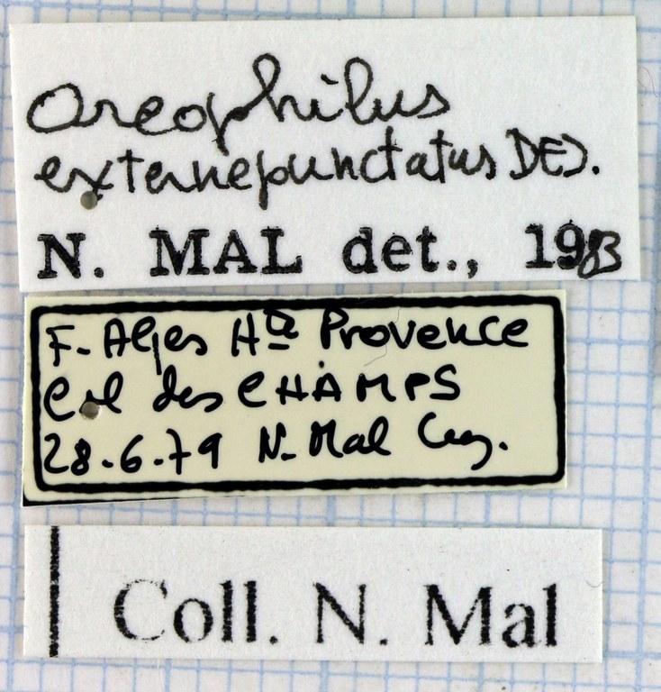 Oreophilus externepunctatus 45542.jpg