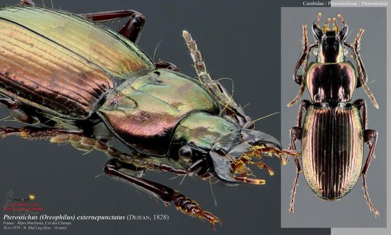 Oreophilus externepunctatus.jpg