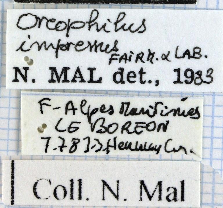 Oreophilus impressus 45542.jpg