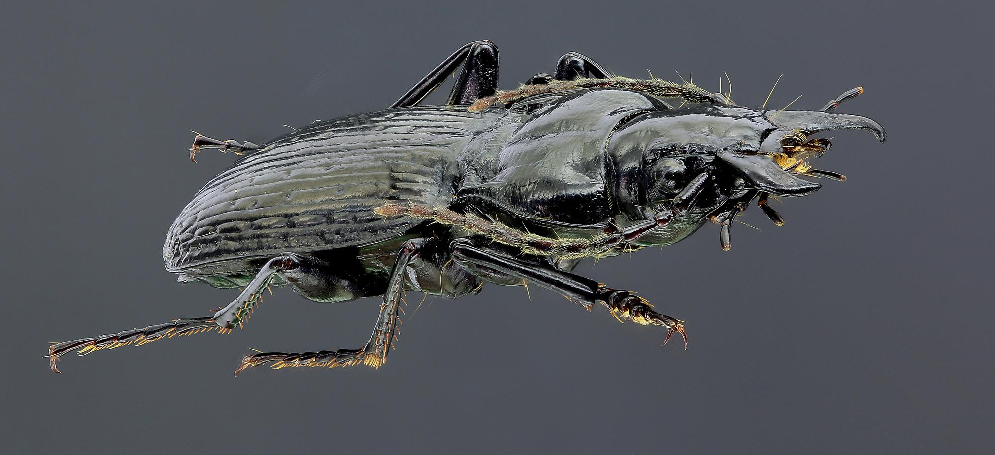 Oreophilus impressus 45543zs80.jpg