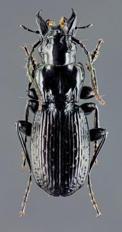 Oreophilus impressus 45645zs62.jpg