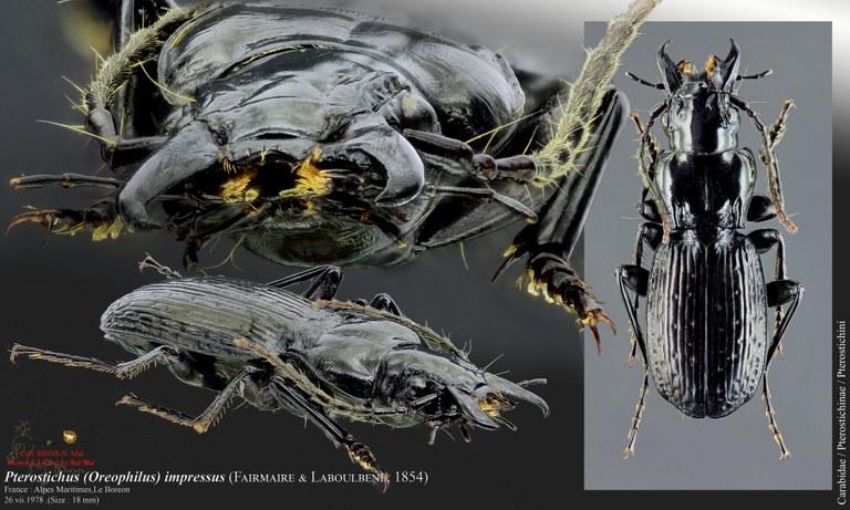Oreophilus impressus.jpg