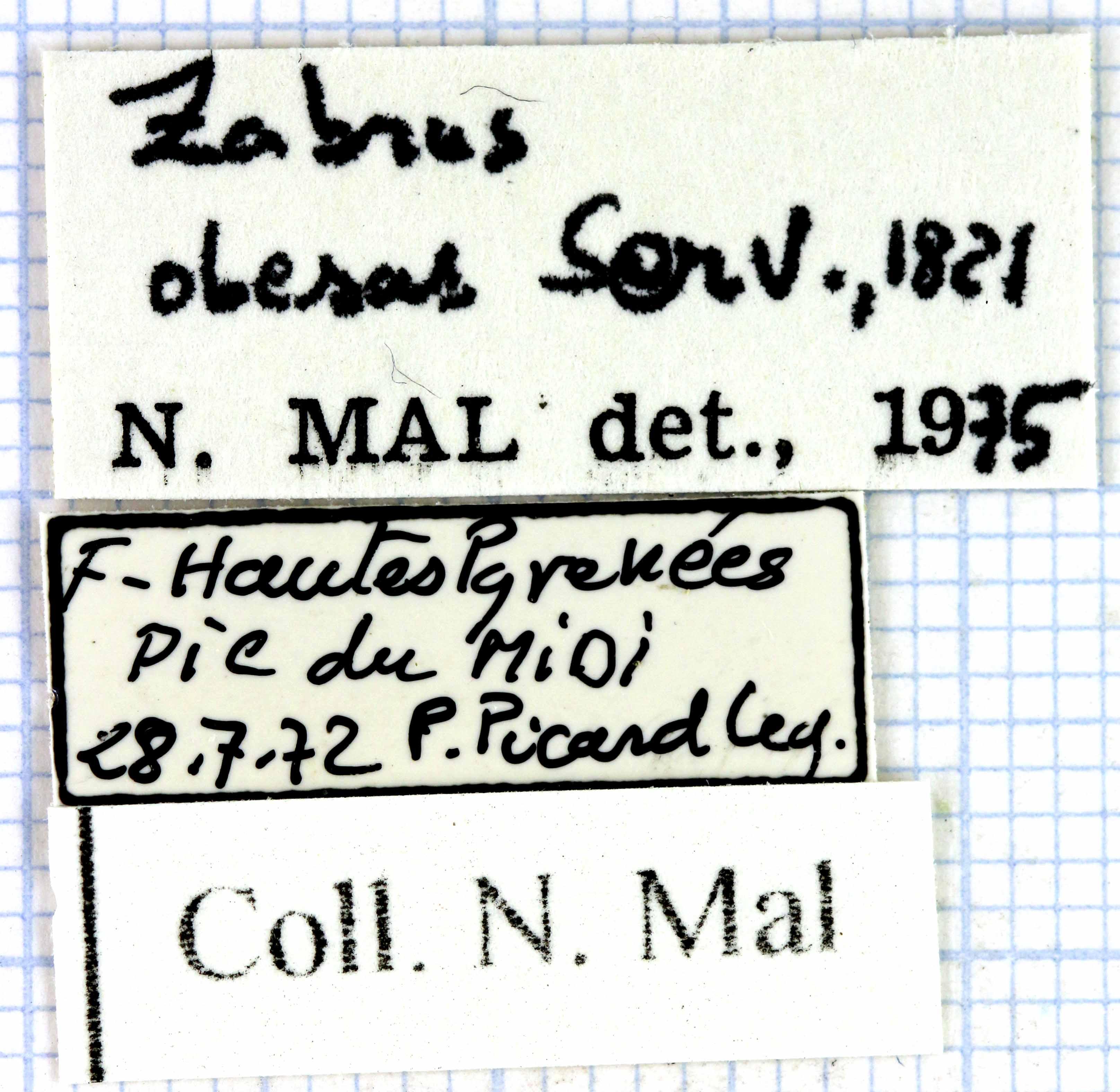Zabrus (Iberozabrus) obesus lab 49059.jpg