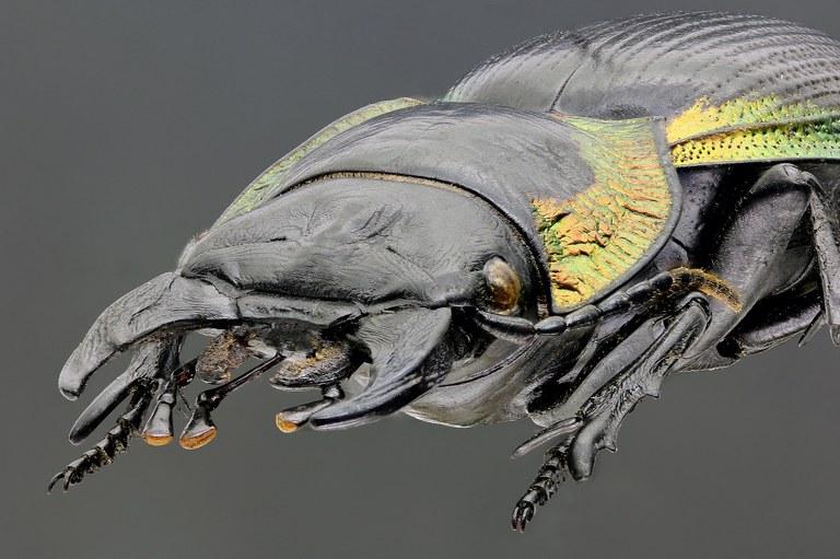 Mouhotia gloriosa planipennis 41976zs55.jpg