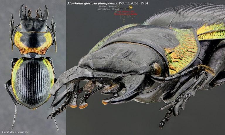 Mouhotia gloriosa planipennis.jpg