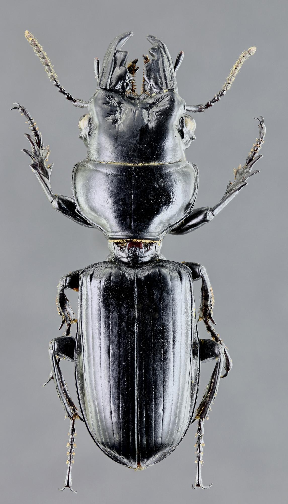 Neochryopus savagei 45400zs10.jpg