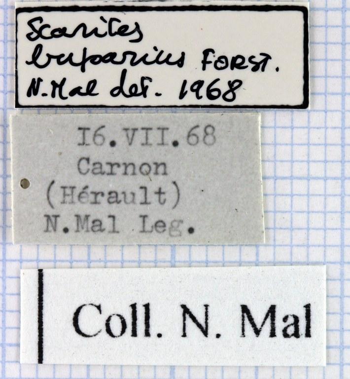 Scarites (Scarites) buparius 43093.jpg
