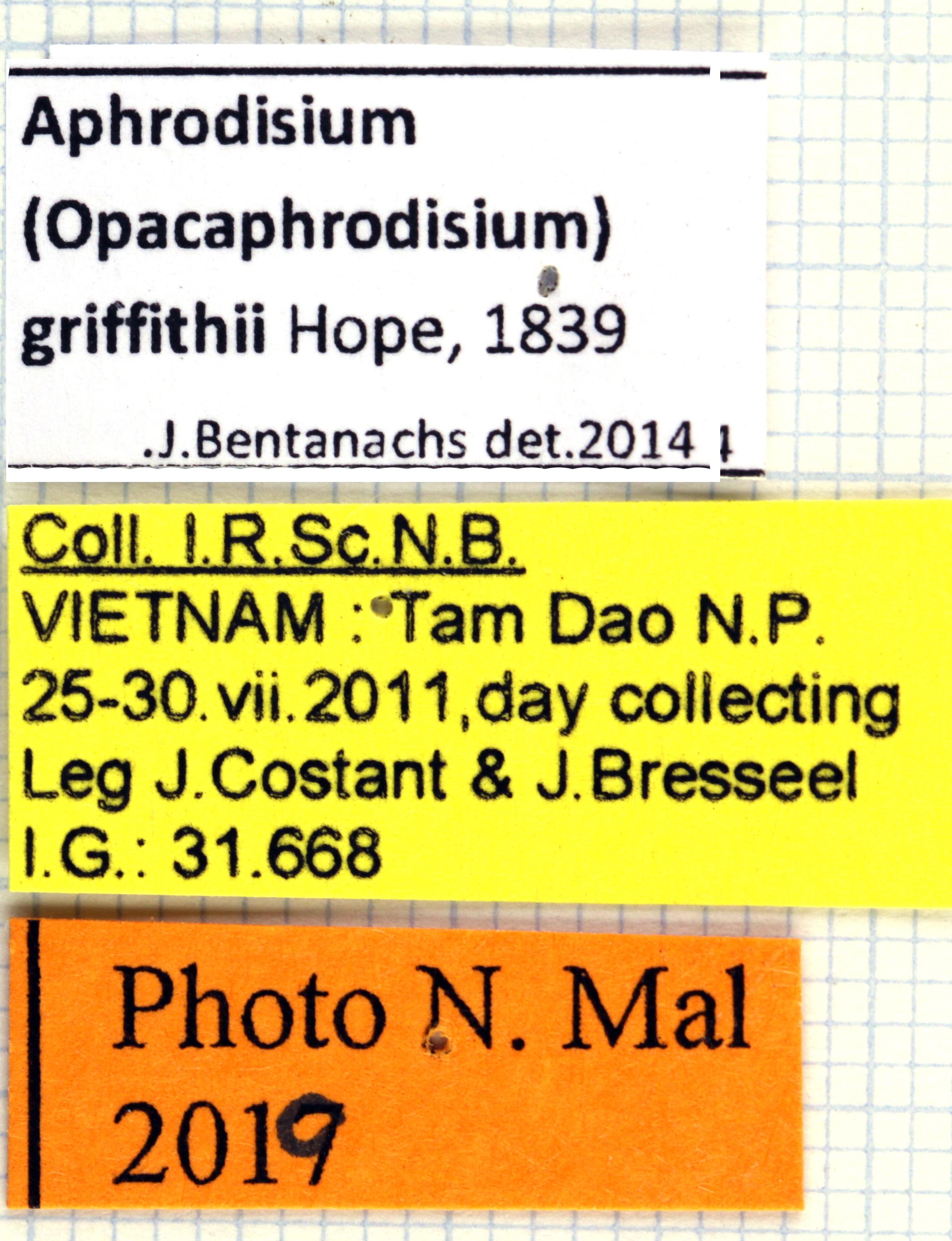 Aphrodisium (Opacaphrodisium) griffithi 13801.jpg