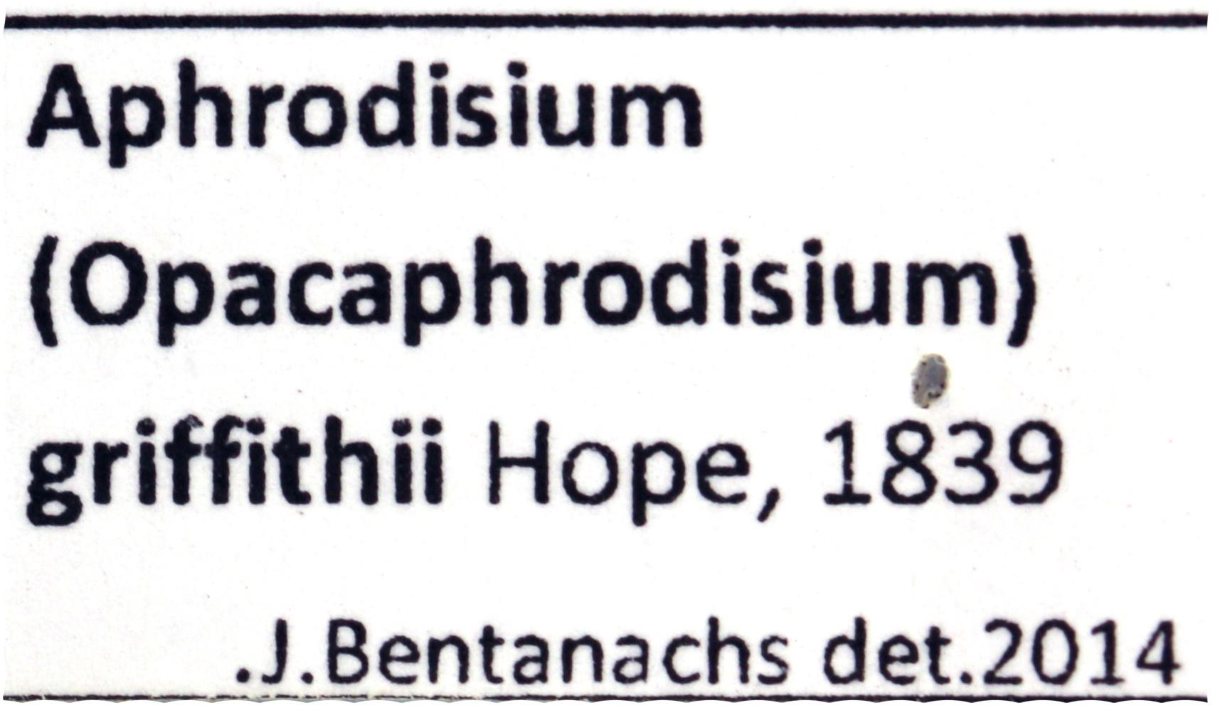 Aphrodisium (Opacaphrodisium) griffithi 3801.jpg