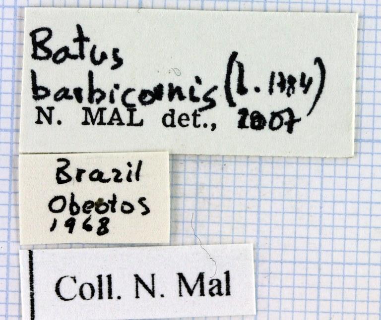 Batus barbicornis 40012.jpg