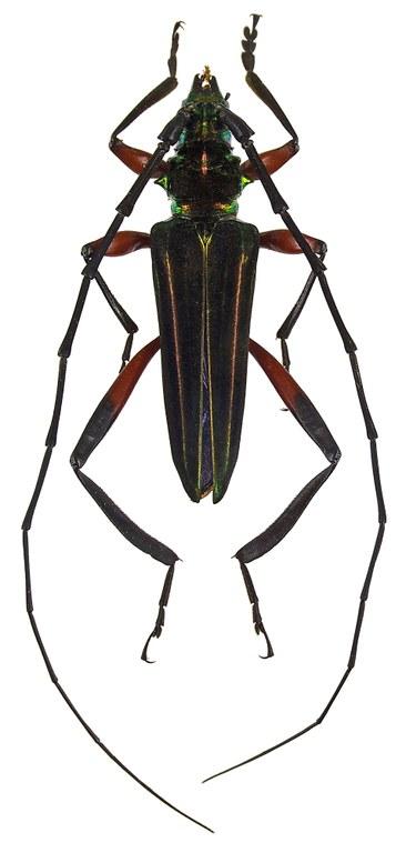 Callichroma iris trilineatum 48023cz25.jpg