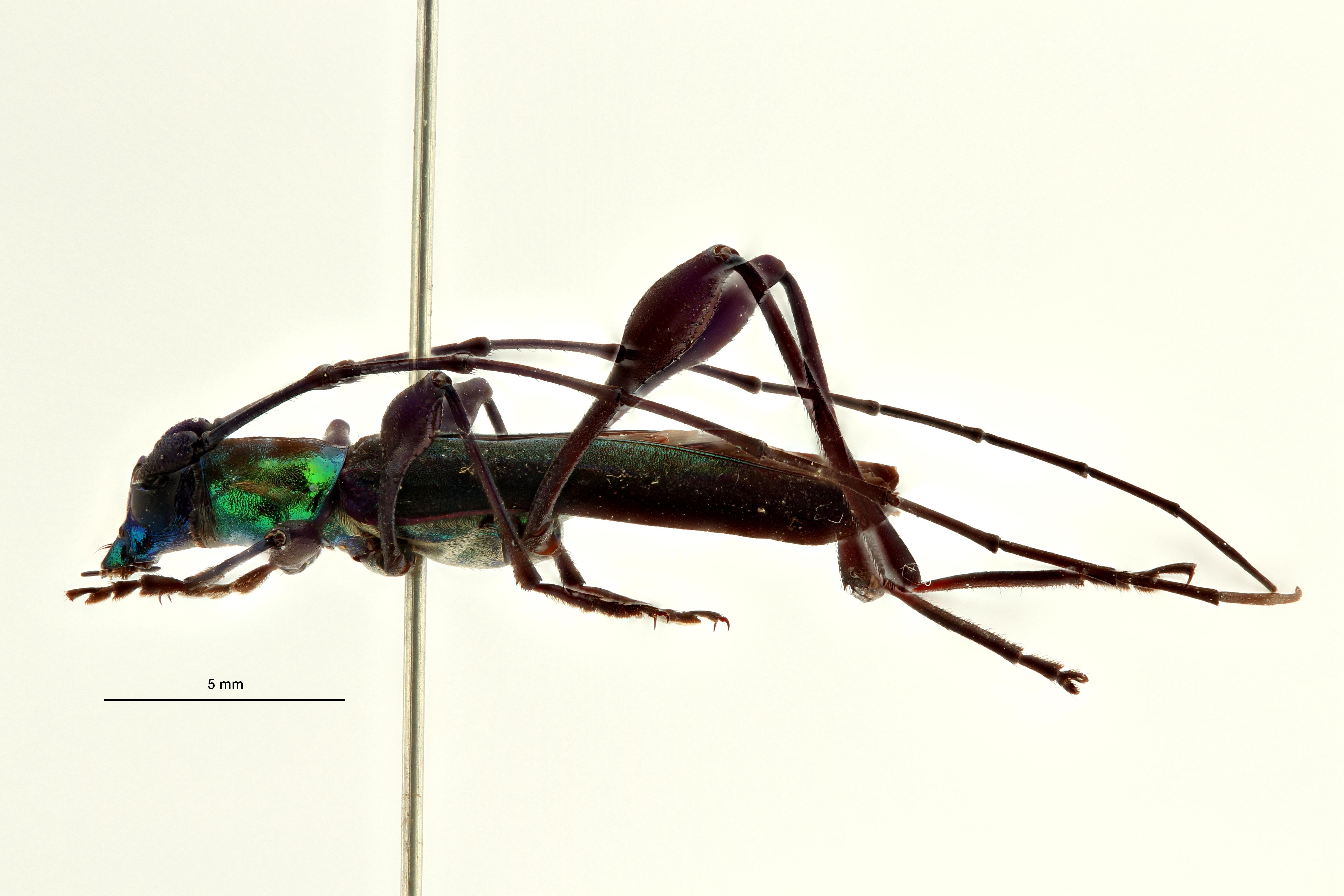Litopus pseudauricollis ht L ZS PMax Scaled.jpeg