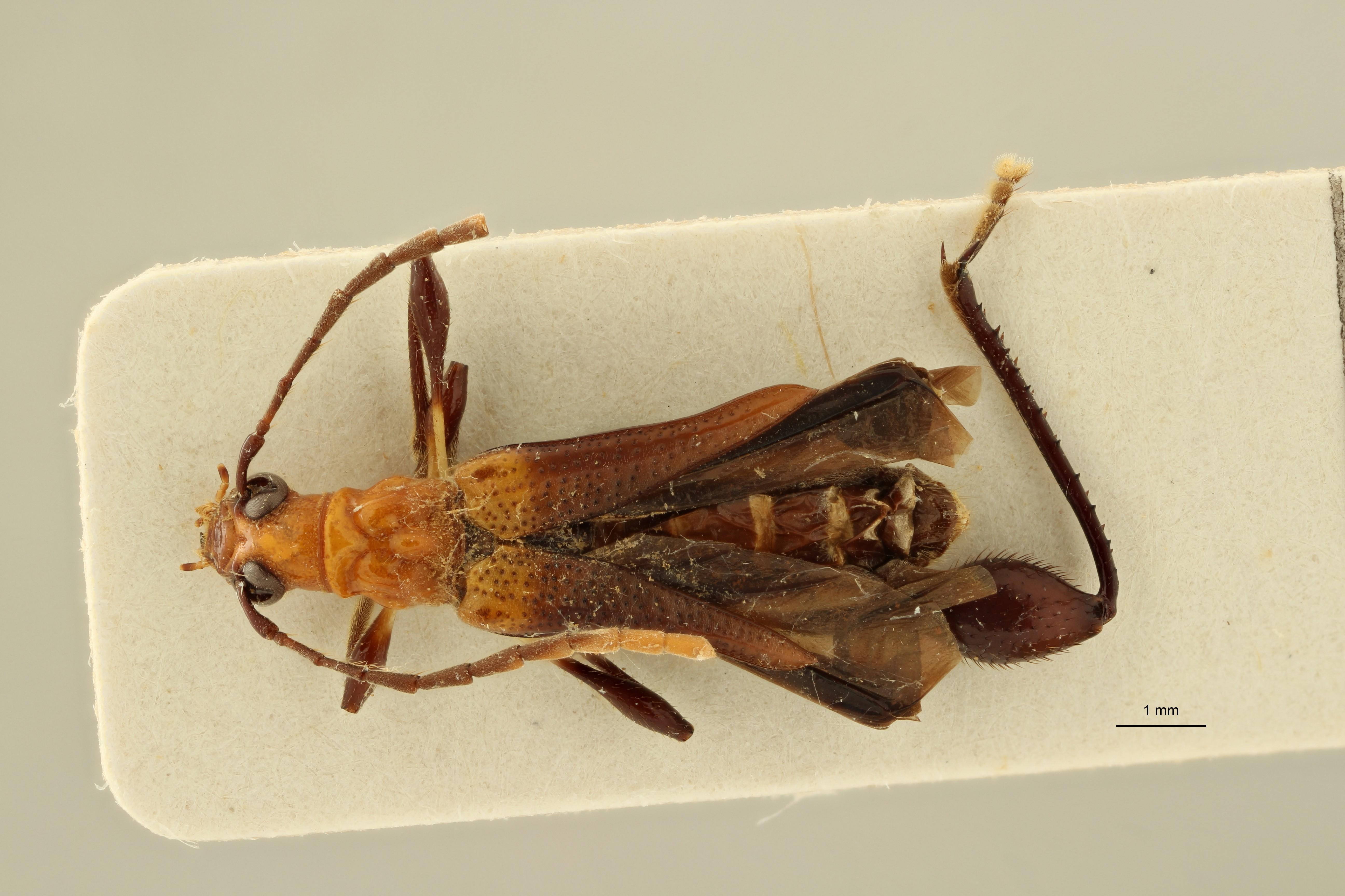 Merionoeda unguicularis pt D ZS PMax Scaled.jpeg