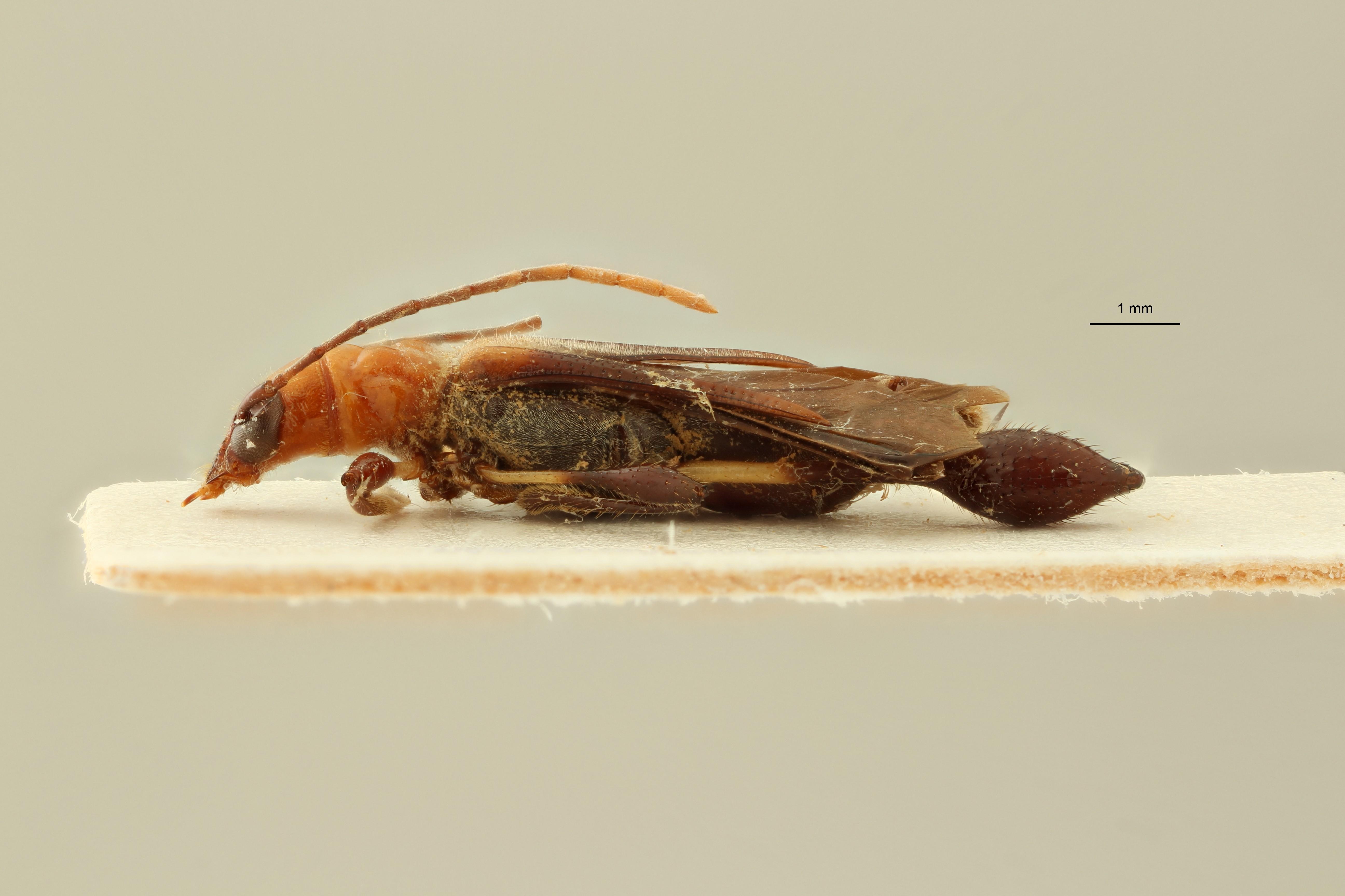 Merionoeda unguicularis pt L ZS PMax Scaled.jpeg
