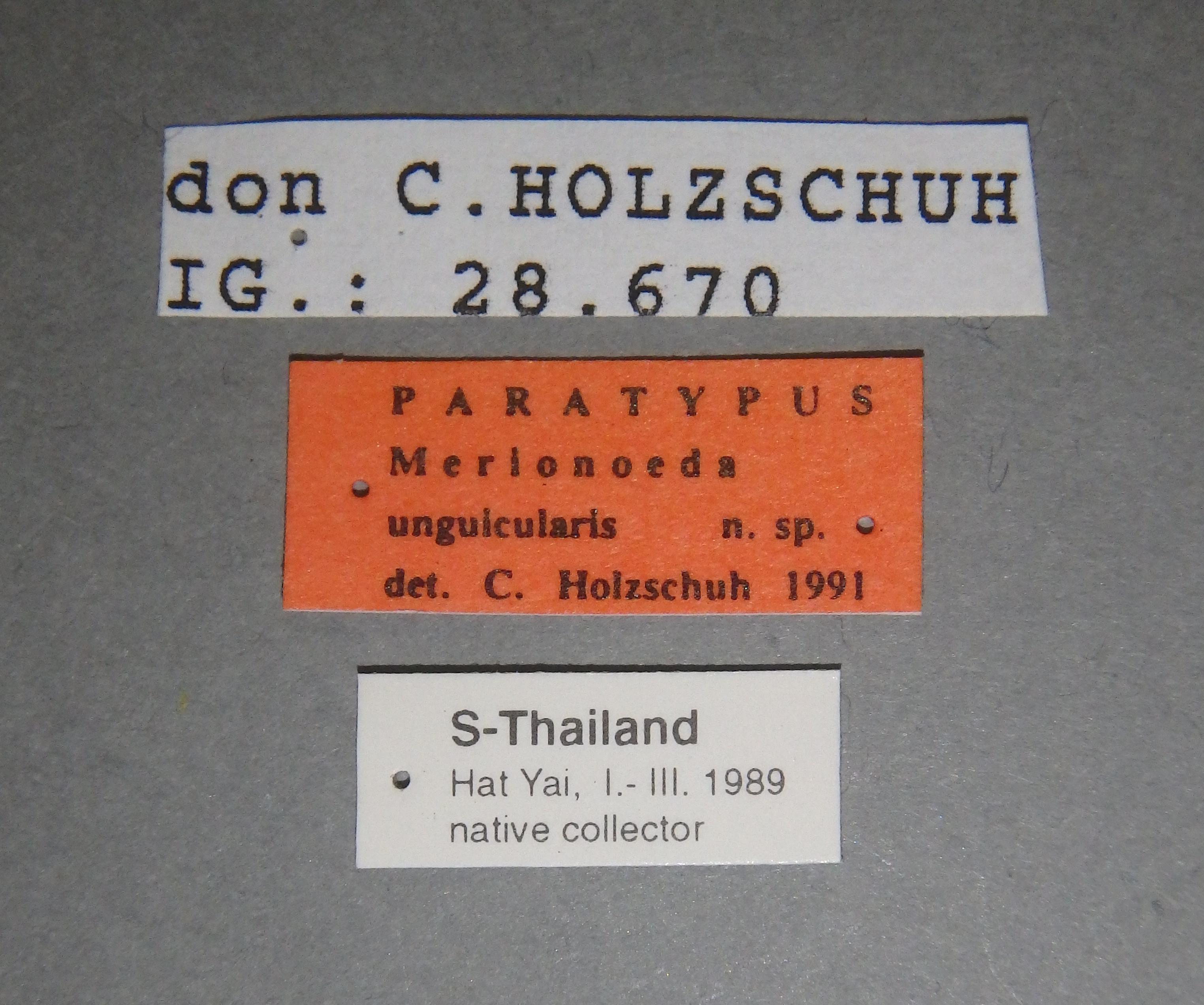 Merionoeda unguicularis pt Lb.JPG