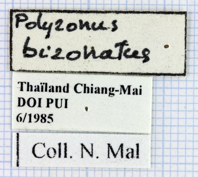 Polyzonus bizonatus 40324.jpg