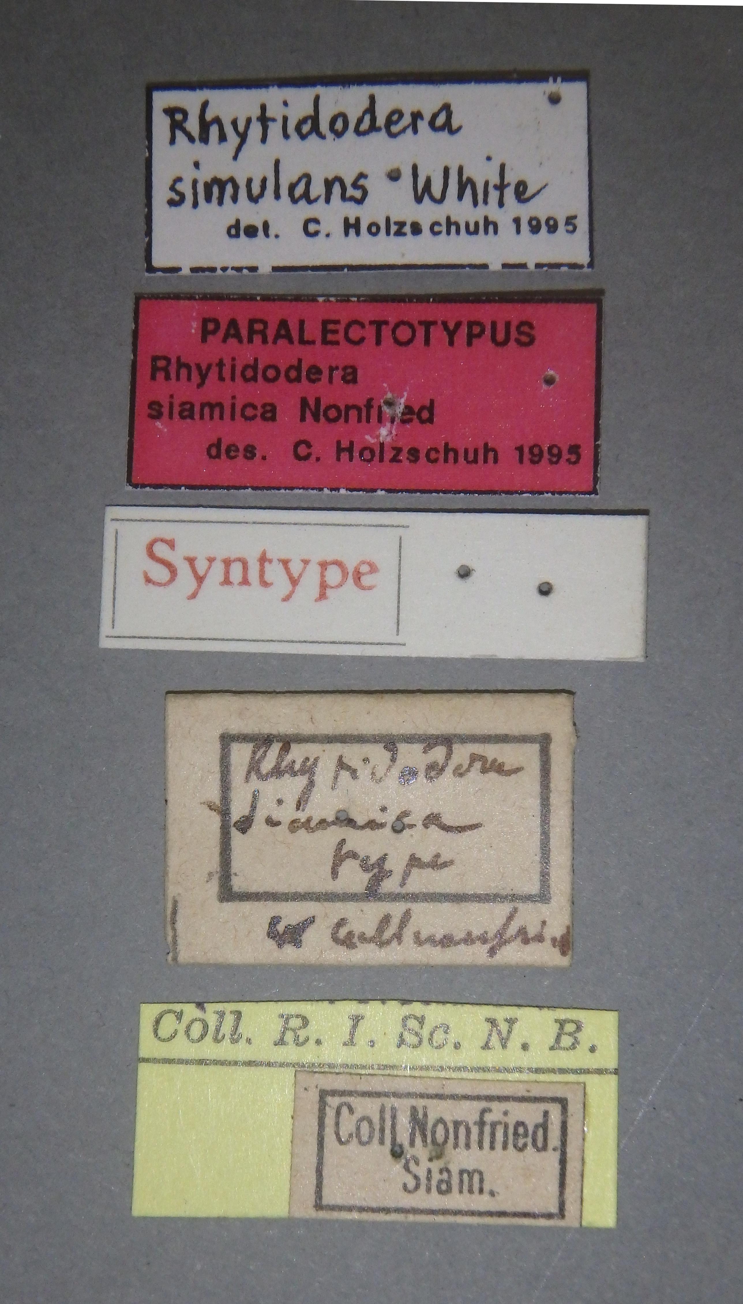 Rhytidodera siamica plt Lb.JPG