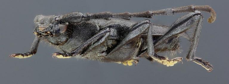 Ropalopus clavipes 39237zs76.jpg