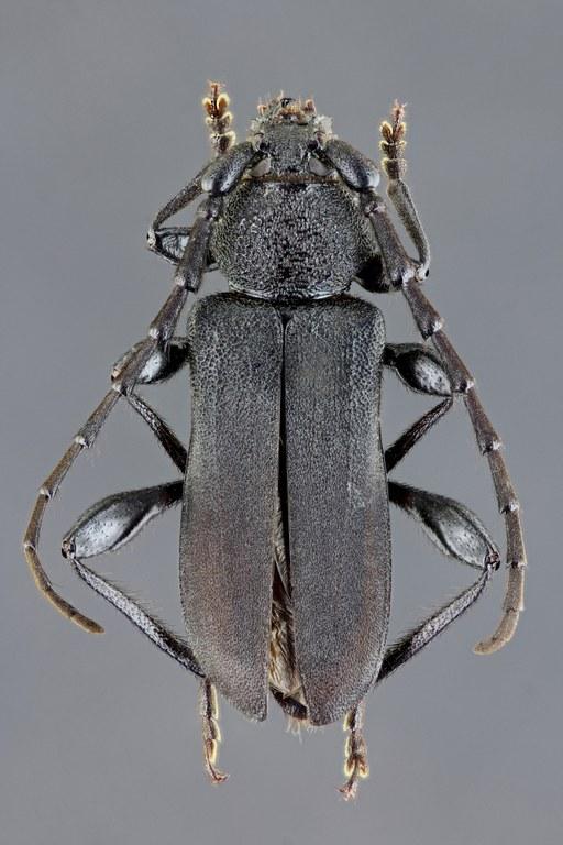 Ropalopus clavipes 39277zs92.jpg