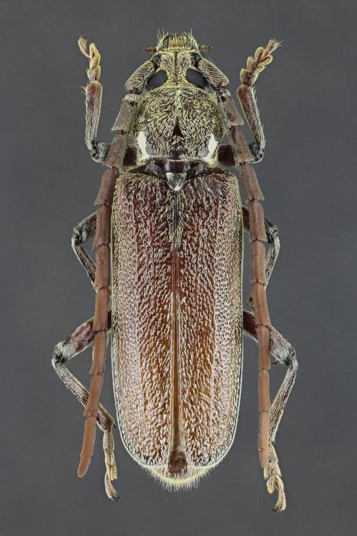 Strongylurus partitus 39626zs41.jpg