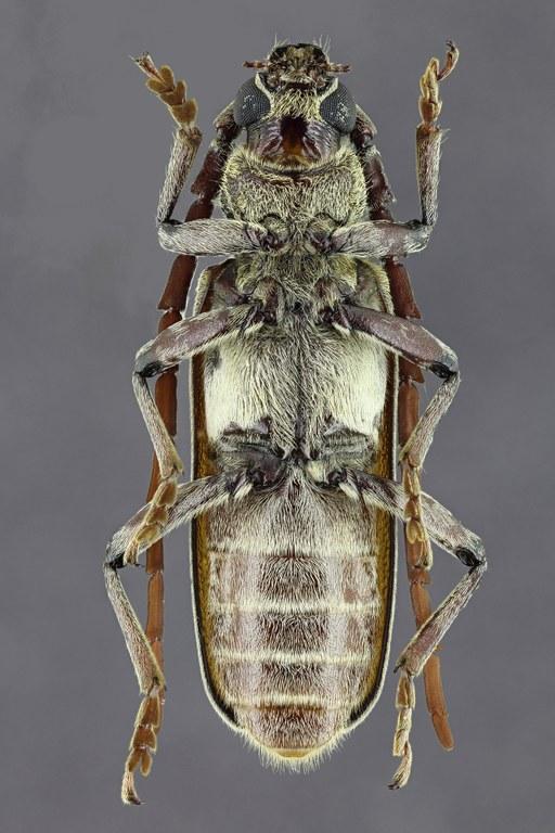 Strongylurus partitus 39642zs53.jpg