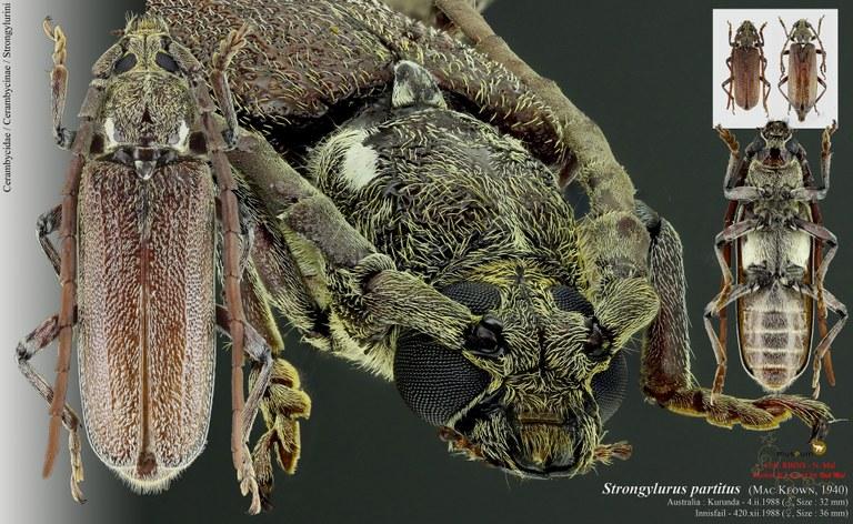Strongylurus partitus.jpg