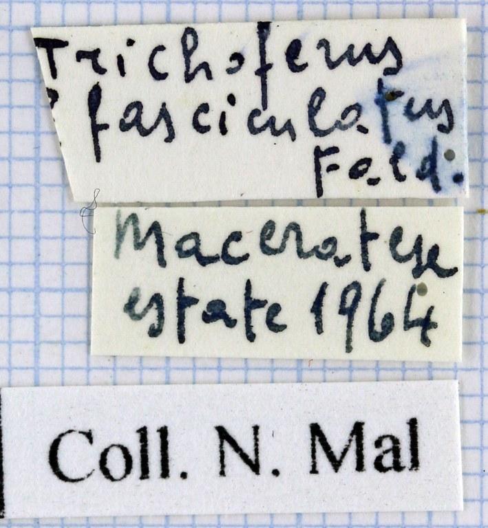 Trichoferus fasciculatus 39424.jpg