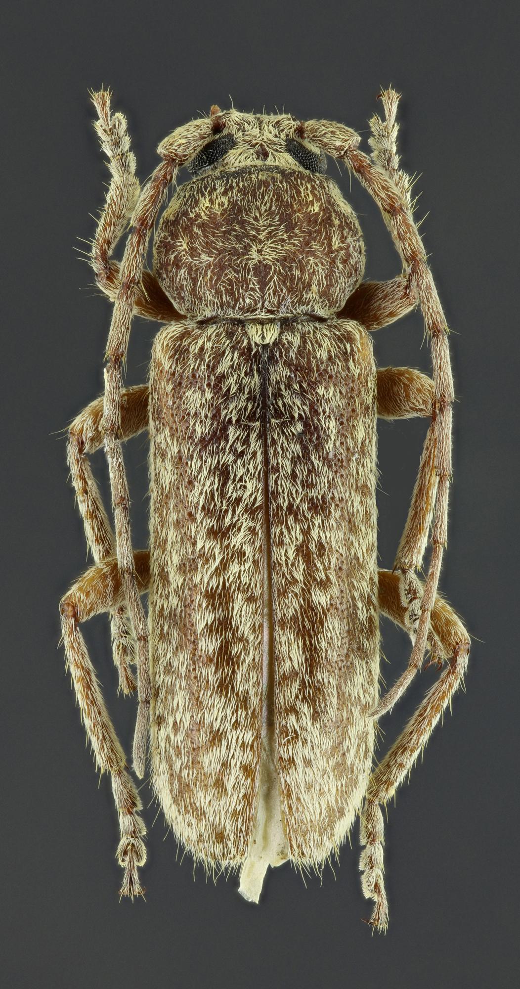 Trichoferus fasciculatus 39425zs42.jpg