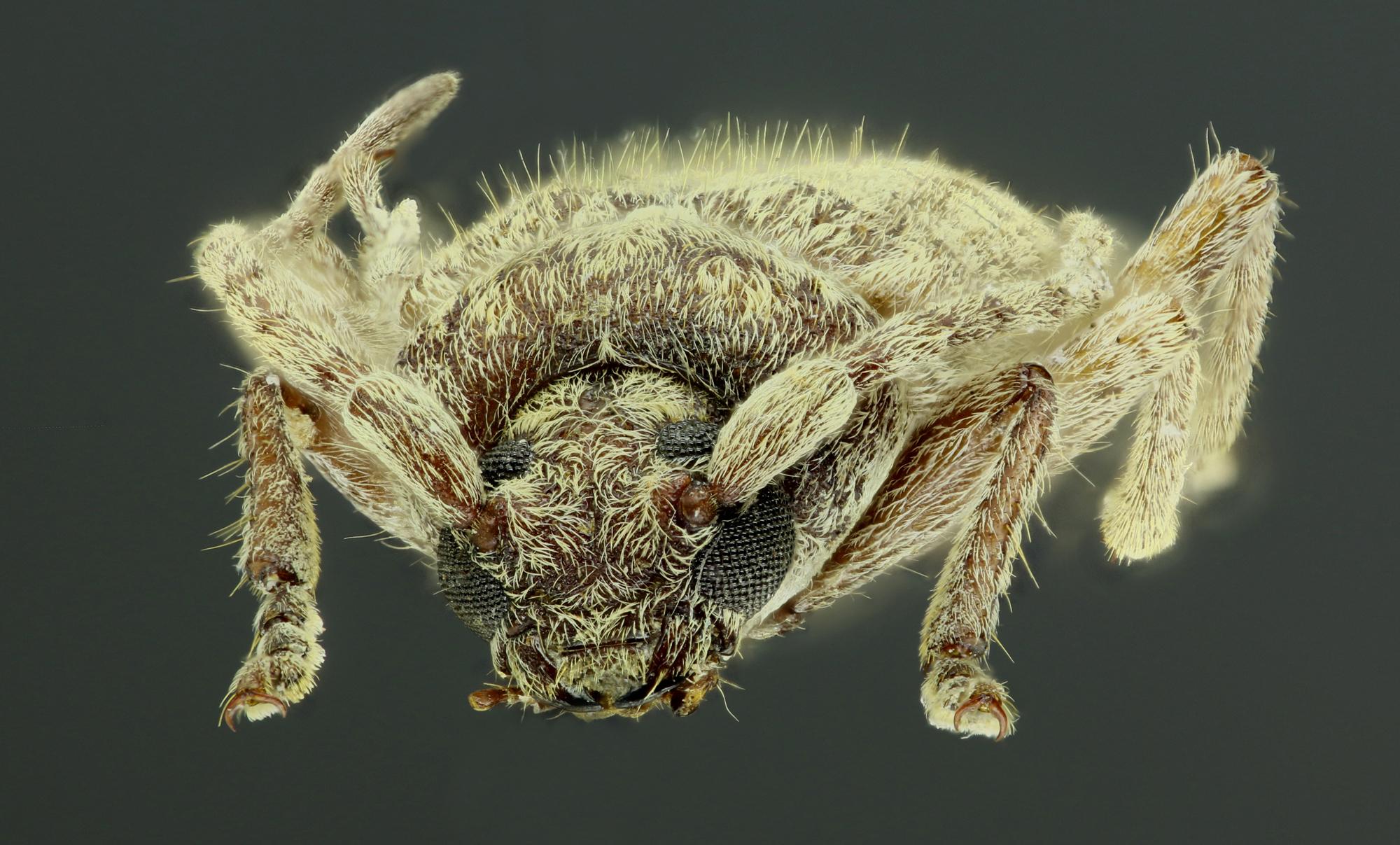 Trichoferus fasciculatus 39443zs89.jpg