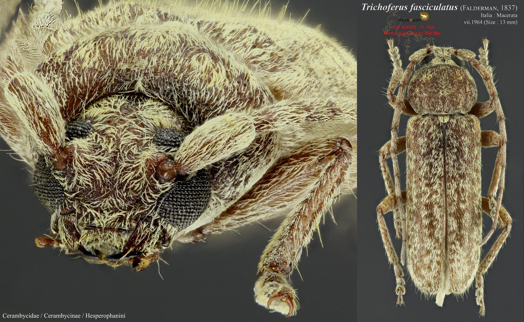 Trichoferus fasciculatus.jpg