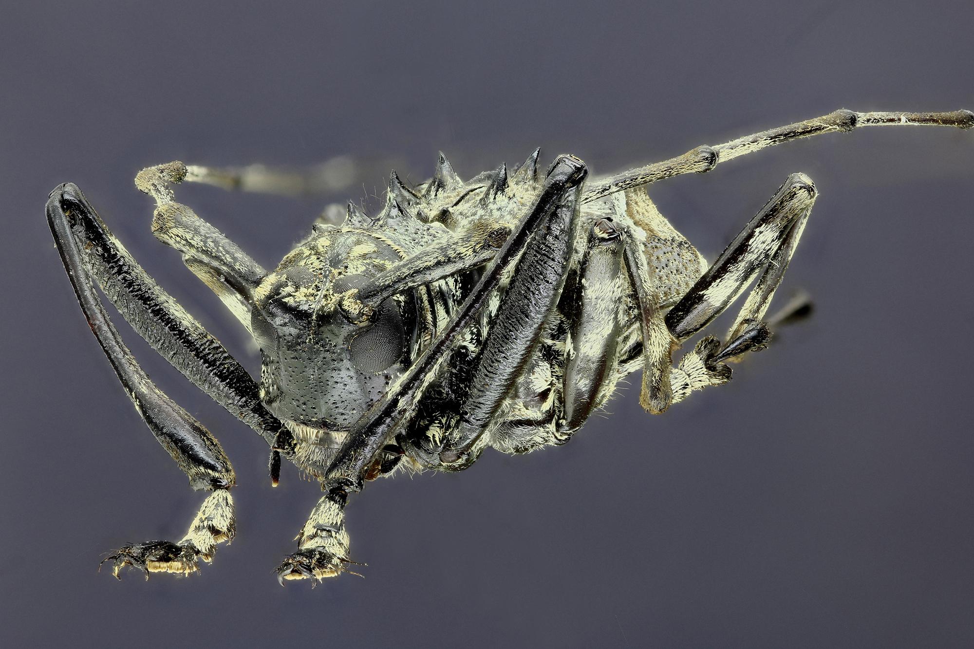 Ancylonotus tribulus tribulus 31968zs02.jpg