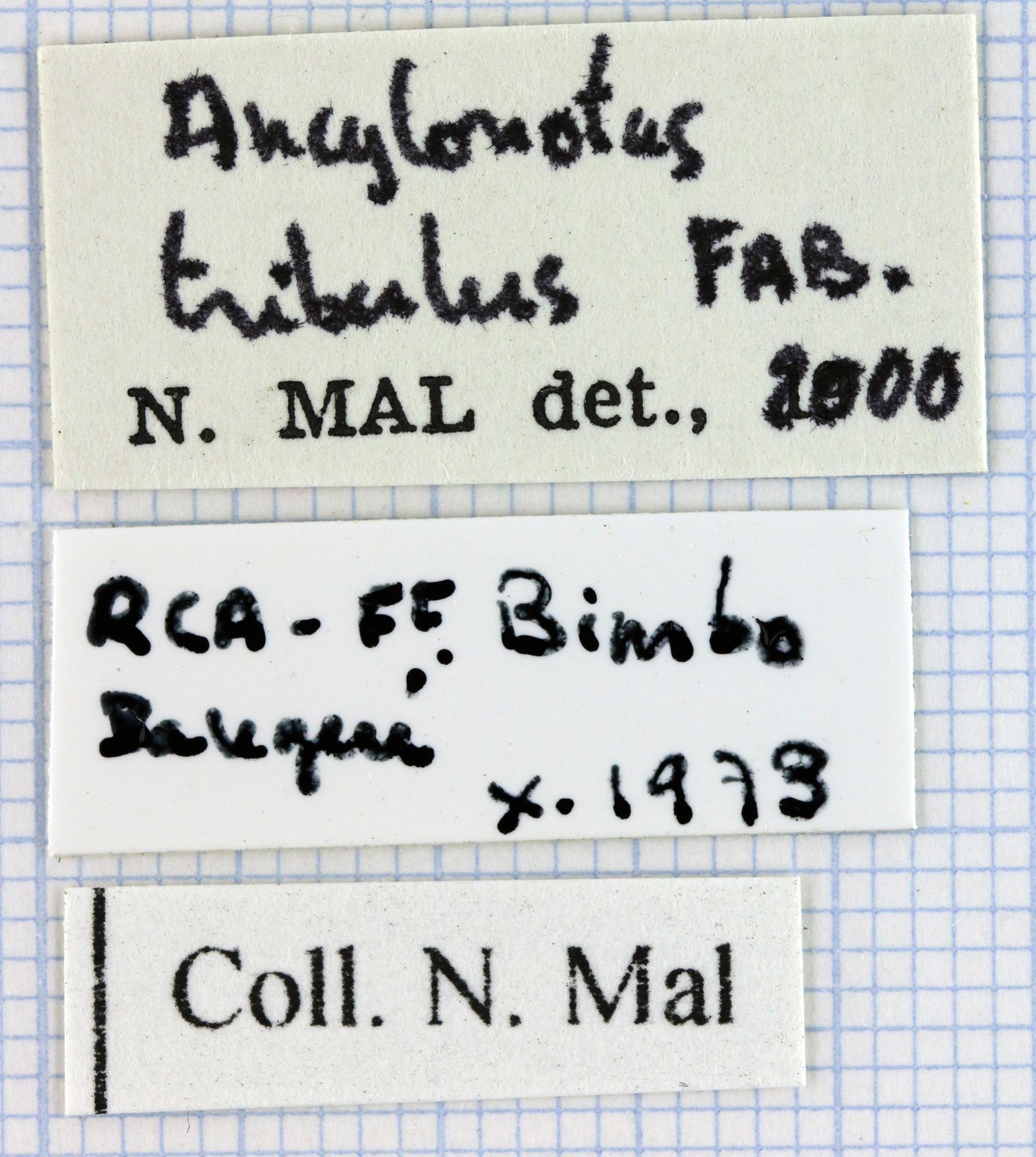 Ancylonotus tribulus tribulus 32046.jpg
