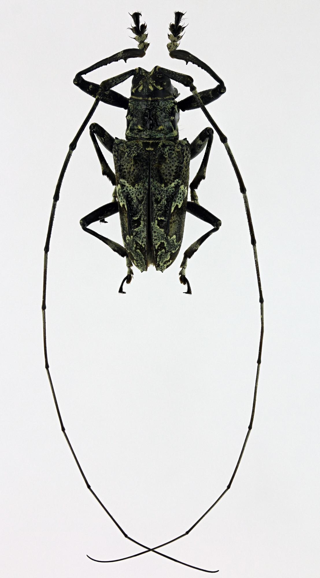 Ancylonotus tribulus tribulus 32047zs53.jpg