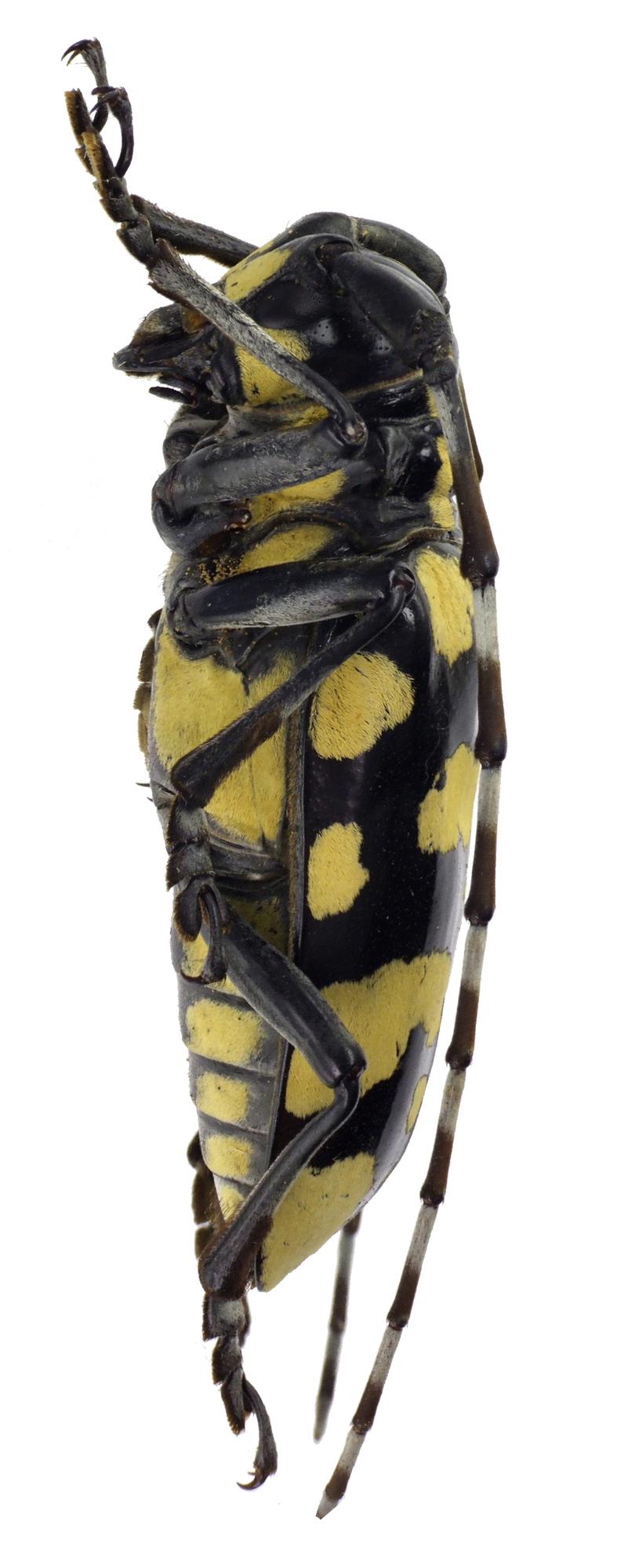 Anoplophora horsfieldii NM60087cz95.jpg