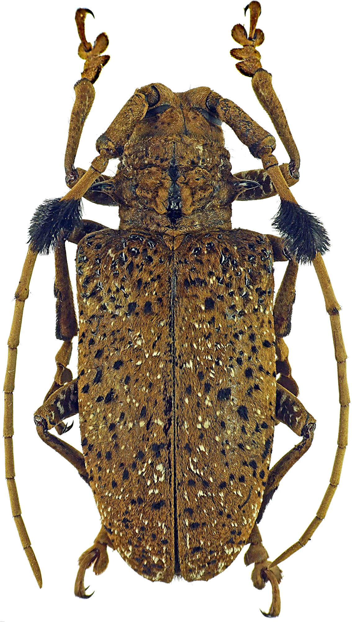 Aristobia freneyi 12045cz48.jpg