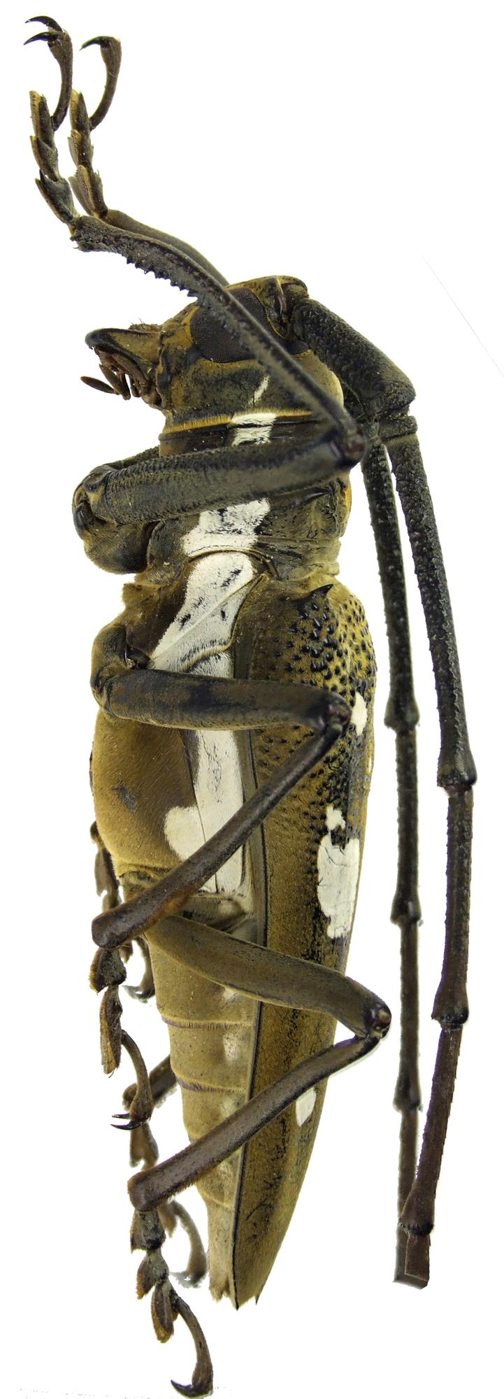 Batocera celebiana NM61840cz45.jpg