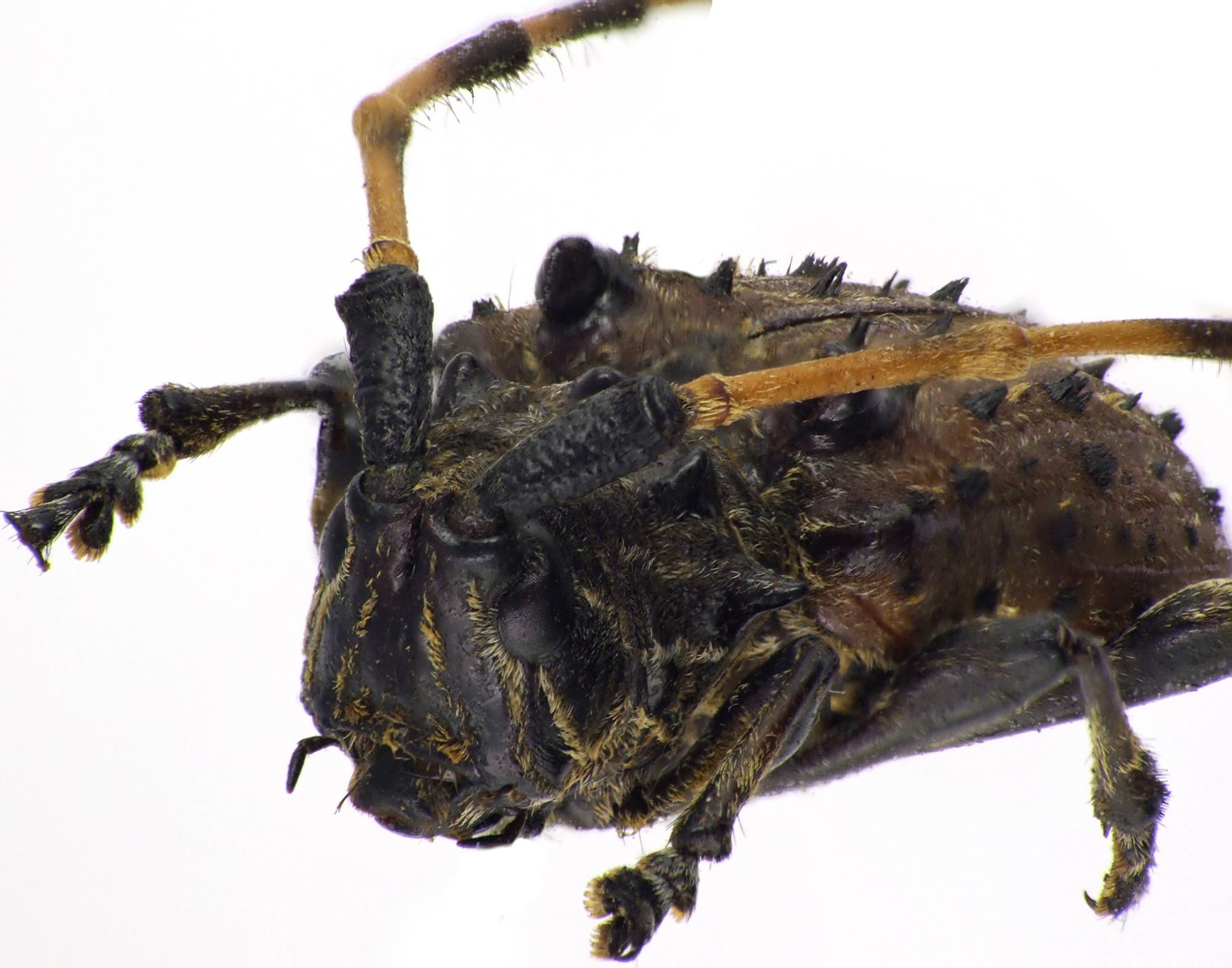 Callipyrga turrita NM60813cz24.jpg
