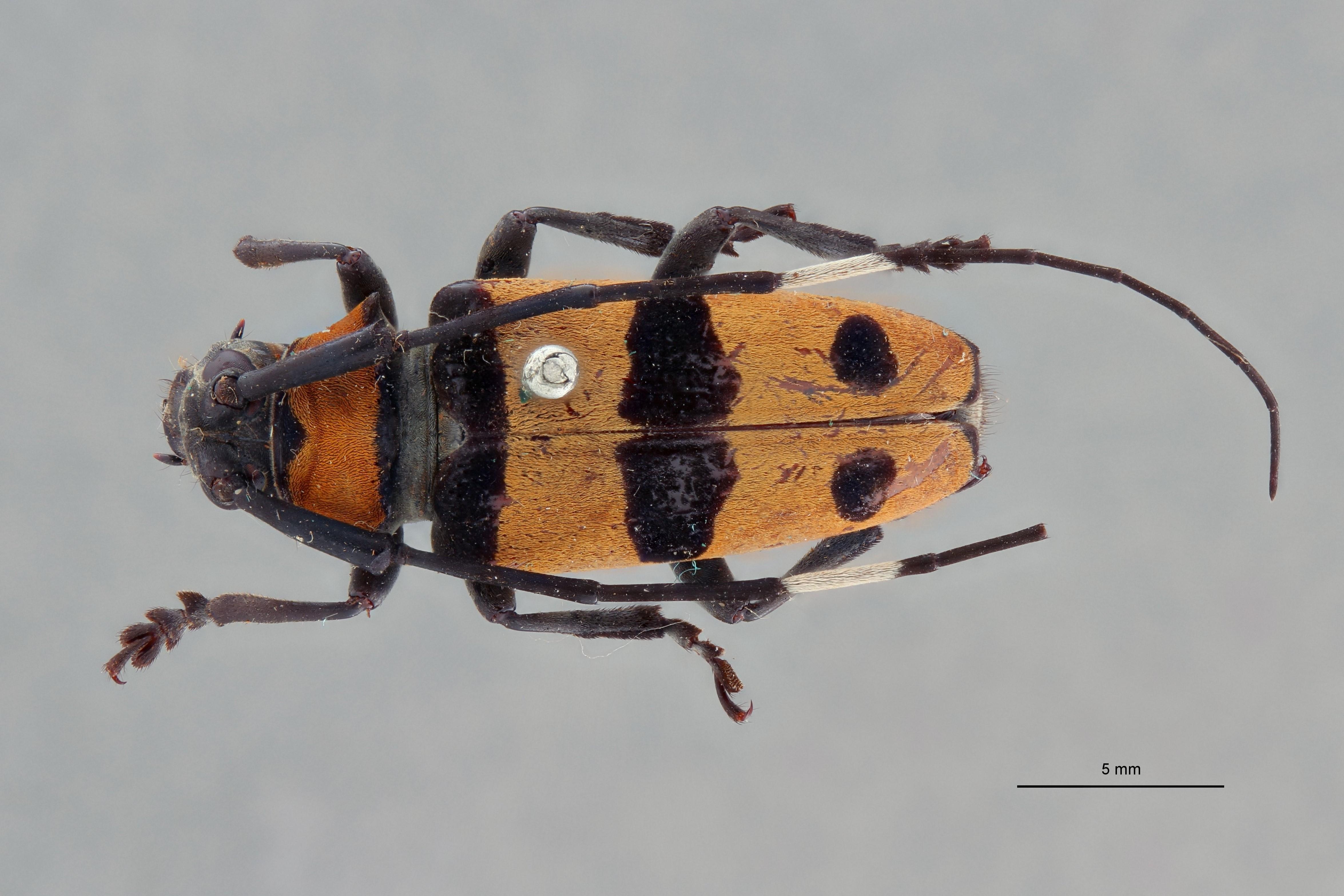 Cereopsius quaestor connecta pt D.jpg